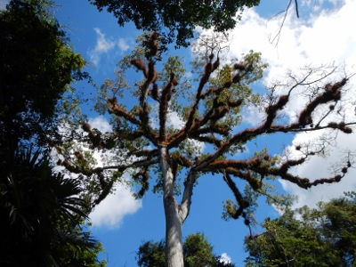 Looking up at the         giant Ceiba Tree which is the national tree of Guatemala